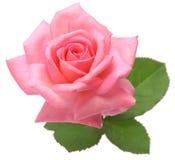 A cor-de-rosa levantou-se com folhas Fotos de Stock Royalty Free