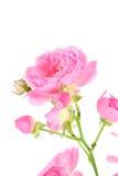 A cor-de-rosa levantou-se com folhas. Fotos de Stock