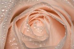 A cor-de-rosa levantou-se com gotas da água Imagem de Stock Royalty Free