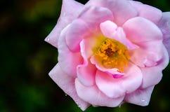 A cor-de-rosa levantou-se com gotas da água Imagens de Stock