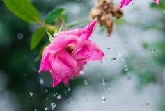 A cor-de-rosa levantou-se com gotas da água foto de stock