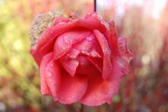 A cor-de-rosa levantou-se com waterdrops Fotografia de Stock Royalty Free