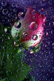 A cor-de-rosa levantou-se em gotas da água Imagens de Stock