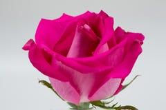 A cor-de-rosa levantou-se em um fundo branco Fotos de Stock