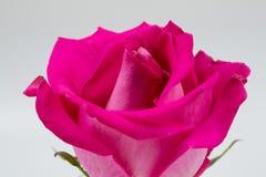A cor-de-rosa levantou-se em um fundo branco Fotos de Stock Royalty Free