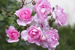 A cor-de-rosa levantou-se em um jardim Fotografia de Stock Royalty Free