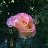 A cor-de-rosa levantou-se em um jardim Imagens de Stock