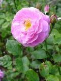 A cor-de-rosa levantou-se na flor Imagem de Stock