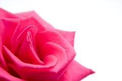 A cor-de-rosa levantou-se no branco Fotos de Stock Royalty Free