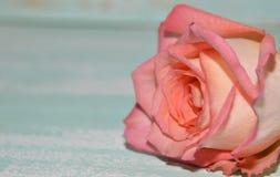 A cor-de-rosa levantou-se no fundo azul fotos de stock royalty free