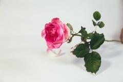 A cor-de-rosa levantou-se no fundo branco Fotos de Stock Royalty Free
