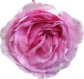 A cor-de-rosa levantou-se no fundo branco Foto de Stock Royalty Free