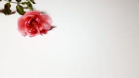 A cor-de-rosa levantou-se no fundo branco Fotografia de Stock