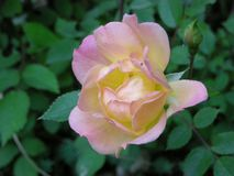 A cor-de-rosa levantou-se no jardim foto de stock