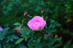 A cor-de-rosa levantou-se no jardim Fotografia de Stock Royalty Free