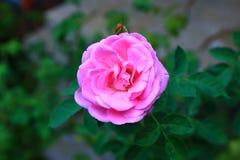A cor-de-rosa levantou-se no jardim Fotos de Stock