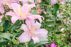 Cor-de-rosa lilly Imagens de Stock