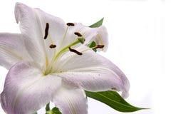 Cor-de-rosa lilly Imagens de Stock Royalty Free