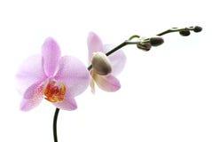 A cor-de-rosa manchou as orquídeas isoladas no fundo branco Fotografia de Stock