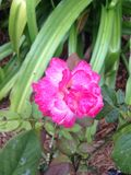 Cor-de-rosa quente Rosa Imagens de Stock Royalty Free