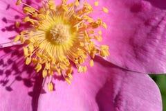 A cor-de-rosa selvagem levantou-se Fotografia de Stock