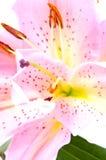 Cor-de-rosa tropical lilly Imagem de Stock