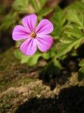 Cor-de-rosa vívida Imagens de Stock