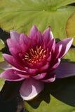 Cor-de-rosa waterlily Imagens de Stock Royalty Free