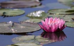 Cor-de-rosa waterlily Imagens de Stock