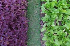 Cor de tom do vegetal dois Imagens de Stock Royalty Free