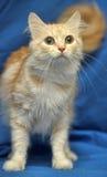 Cor delicada do pêssego do gato Foto de Stock Royalty Free