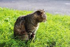 cor desabrigada endurecida do junco do gato com os ferimentos ao risco típico do otoacariasis da orelha e da sarna atrás das orel Fotos de Stock Royalty Free