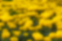 Cor do amarelo do fundo do borrão Fotografia de Stock