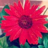 Cor do amor, vermelha Imagem de Stock