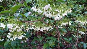 Cor do branco da flor do arborea de Wrightia imagem de stock