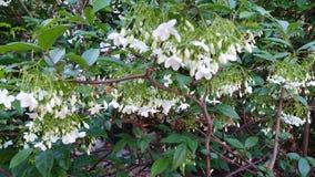 Cor do branco da flor do arborea de Wrightia imagem de stock royalty free