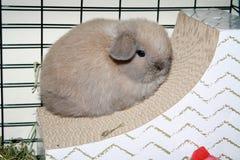 Cor do delito de Holland Lop Bunny Rabbit Blue do bebê Fotos de Stock
