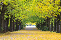 A cor do outono decora as árvores neste bosque do tre da nogueira-do-Japão fotos de stock