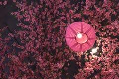 Cor do rosa da lanterna japonesa com sakura plástico imagens de stock