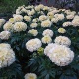 Cor macia das flores imagem de stock