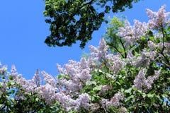 Cor macia lilás, árvore verde e céu azul na primavera imagens de stock royalty free