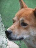 Cor marrom do cão Imagem de Stock Royalty Free
