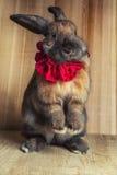 Cor marrom vermelha do coelho Fotos de Stock