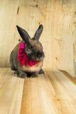 Cor marrom vermelha do coelho Imagens de Stock Royalty Free