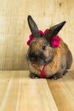 Cor marrom vermelha do coelho Foto de Stock