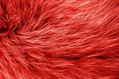 Cor na moda da textura polar da pele de raposa ártica foto de stock royalty free