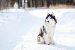 Cor preto e branco do cão do cão de puxar trenós Siberian no inverno fotografia de stock