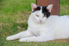 Cor preto e branco grande do gato que encontra-se para baixo no quintal Imagens de Stock