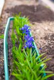 Cor roxa das flores da primeira mola na terra Fotografia de Stock Royalty Free
