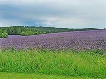 A cor roxa de florescência do prado ajardina com floresta e nuvens no fundo Fotos de Stock
